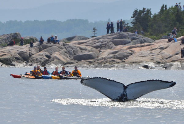 Québec maritime, whaleswatching… quand une baleine fait le spectacle !