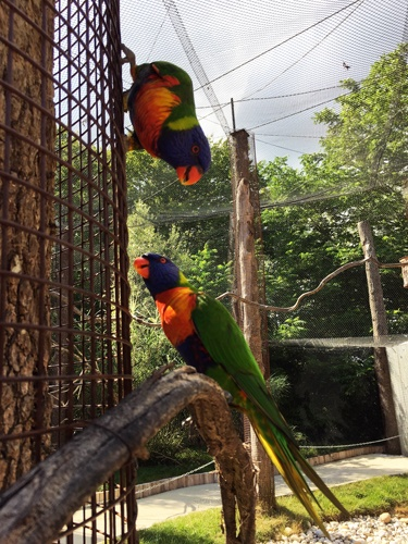 Couple de Loris. Dans le Parc Des Oiseaux, on les nourrit de nectar ! ©Judith Lossmann