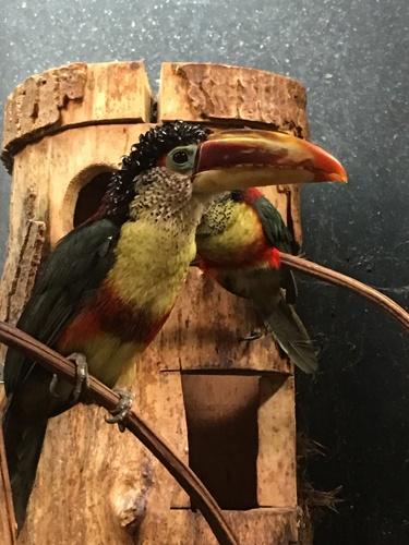 Un joli Toucan à l'abri dans la serre exotique. Juste à côté du Corcine chauve,  reconnaissable à son étrange cri ! ©Judith Lossmann