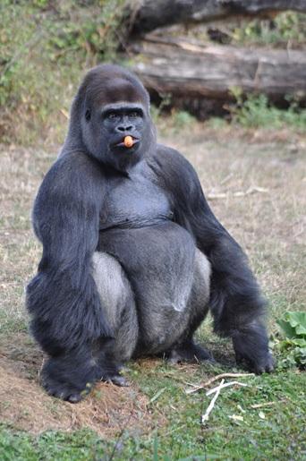vienne vallee des singes gorille
