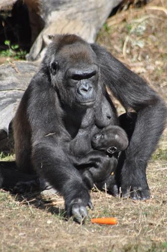 vienne vallee des singes gorille femelle plus bebe