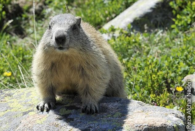 La marmotte, animal fétiche du parc… is watching on you ! ©Reza Afchar Nadéri