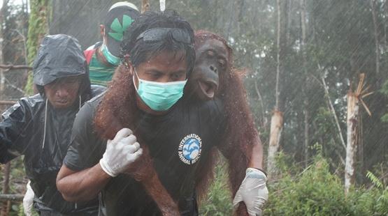 nutella borneo orang utan artz